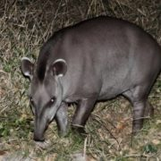 Magnificent tapir
