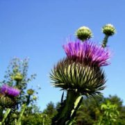 Magnificent thistle