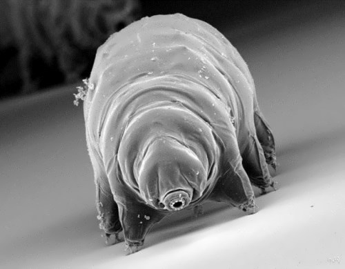 Magnificent water bear