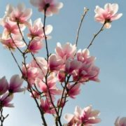 Cute magnolia