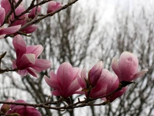 Stunning magnolia