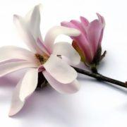 Gorgeous magnolia