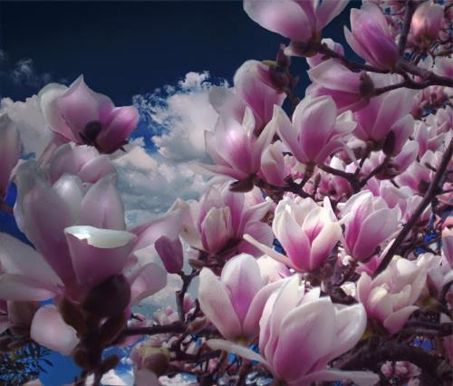 Attractive magnolia