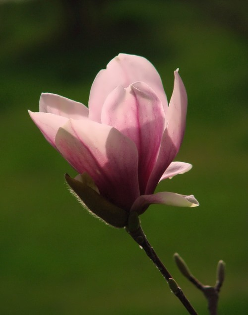 Interesting magnolia