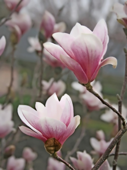 Wonderful Magnolias