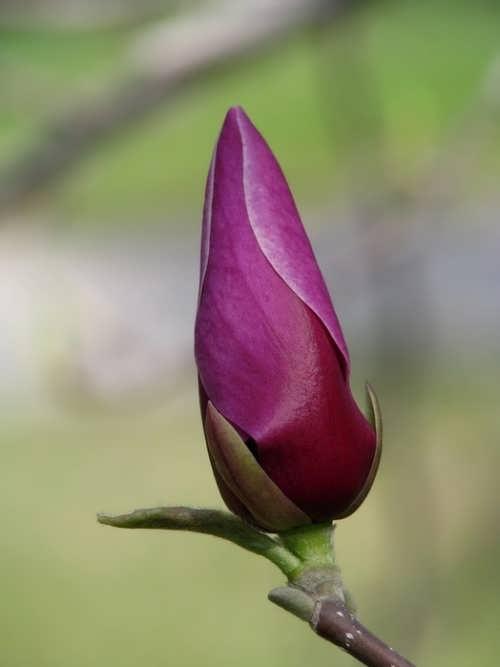 Magnolia's bud