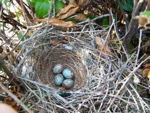Mockingbird's nest