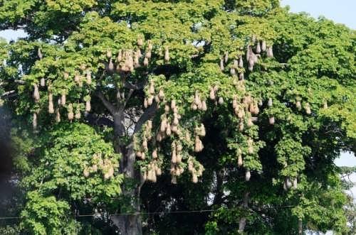 Montezuma oropendola's nests