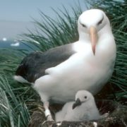 Mother albatross and her chick