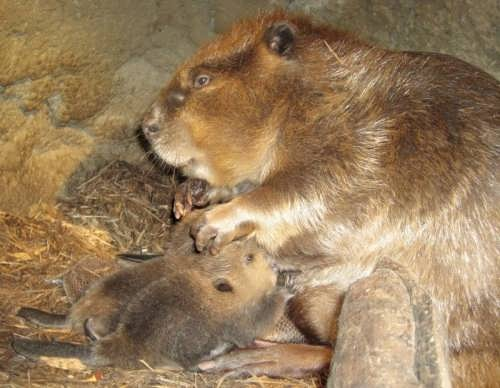 Mother beaver and her babies