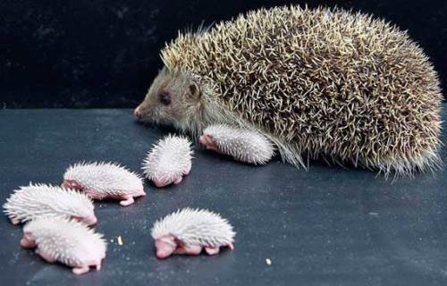 Mother hedgehog and her babies