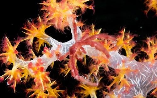 Orangutan Crab and corals
