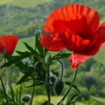 Poppy – wonderful flower