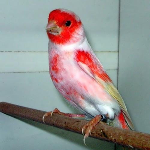 Pretty canary