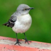 Pretty mockingbird
