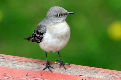 Pretty mockingbird