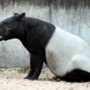 Pretty tapir