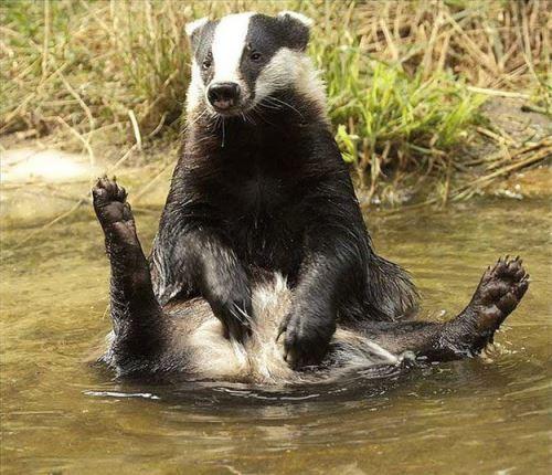 Resting badger