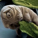 Tardigrada – water bear