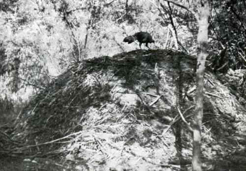 The malleefowl's nest
