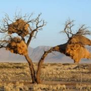 The nest of the African weaver