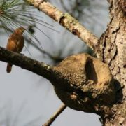 The rufous hornero