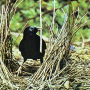 The satin bowerbird