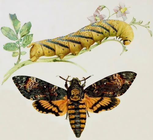 Totenkopf and its caterpillar