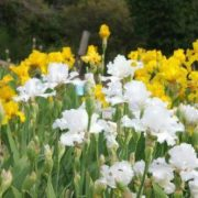White and yellow irises
