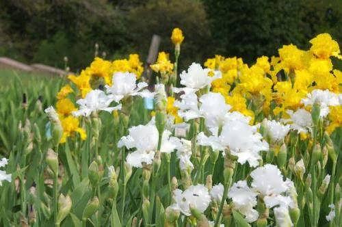 White and yellow irises