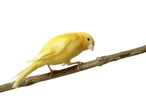 Wonderful canary