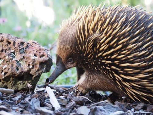 Wonderful echidna