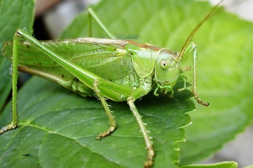 Wonderful grasshopper