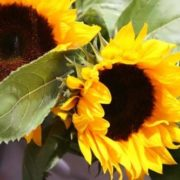 Wonderful sunflowers