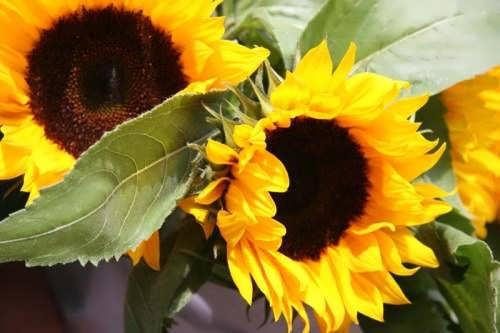 Wonderful sunflowers