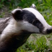 Magnificent badger