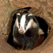 Stunning badger