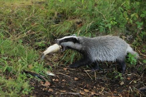 Attractive badger