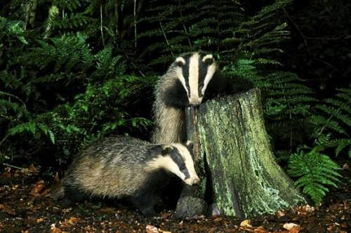 Beautiful badger