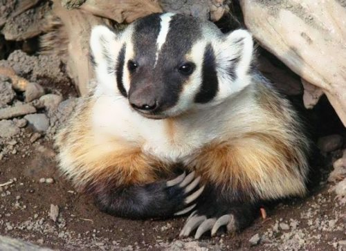 Great badger