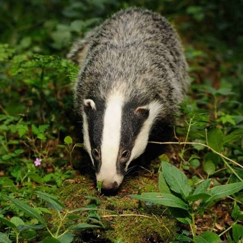 Lovely badger