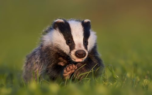 Amazing Badger