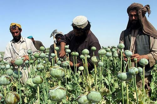 Afghan farmers in the poppy field
