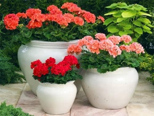 Amazing geranium