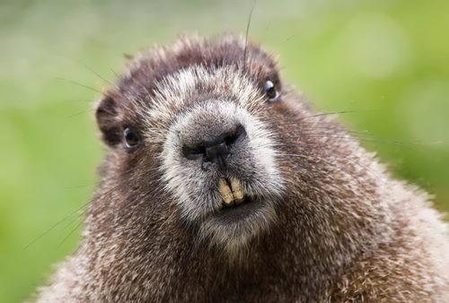 Amazing groundhog