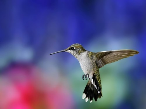 Amazing hummingbird
