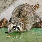 Amazing raccoon