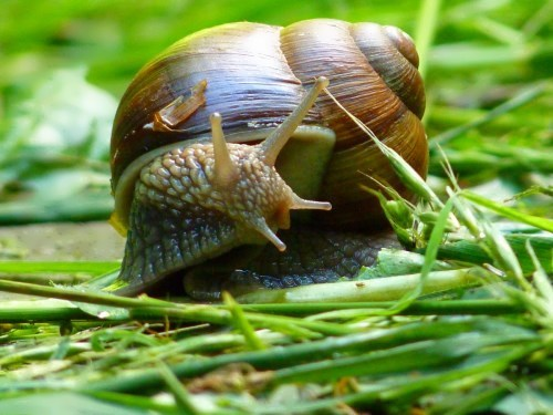 Amazing snail
