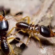 Amazing termites