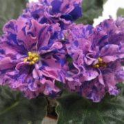 Amazing violets